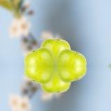 Pommes vertes avec des fleurs de cerise images stock