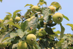 Pommes vertes croissantes Images stock