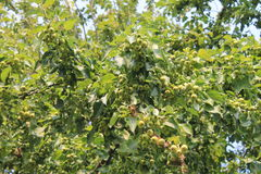 Pommes vertes croissantes Photo stock