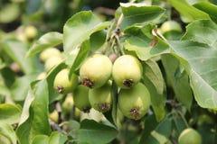Pommes vertes croissantes Photographie stock