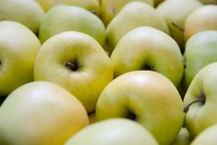 Pommes vertes et jaunes Pommes de la variété d'or Photographie stock libre de droits