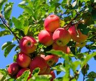 Pommes vertes et rouges sur l'arbre en été Photo libre de droits