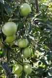 Pommes vertes groupées parmi le feuillage photos stock
