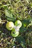 Pommes vertes juteuses Photographie stock