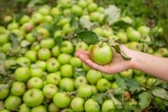 Pommes vertes, plan rapproché un grand groupe de pommes vertes dans une rangée Photo libre de droits