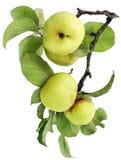 Pommes vertes réelles sur un branchement avec des lames Photographie stock libre de droits