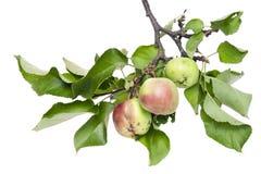 Pommes vertes réelles sur un branchement avec des lames Photos stock