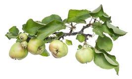 Pommes vertes réelles sur un branchement avec des lames Photo stock