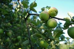 Pommes vertes s'élevant sur une branche d'arbre dans le champ de pommiers photographie stock libre de droits