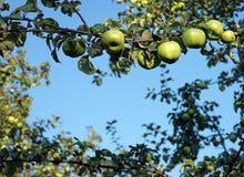 Pommes vertes s'élevant sur une branche d'arbre dans le champ de pommiers image libre de droits