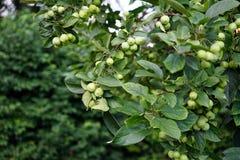 Pommes vertes s'élevant sur une branche d'arbre dans le champ de pommiers photos libres de droits
