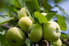 Pommes vertes sur l'arbre photos stock