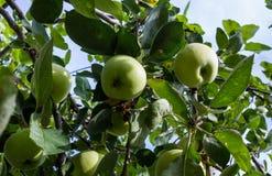 Pommes vertes sur l'arbre images libres de droits