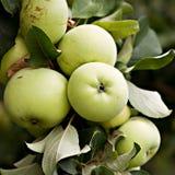 Pommes vertes sur la branche d'Apple-arbre Photographie stock libre de droits