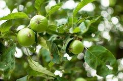 Pommes vertes sur les branches d'un arbre Image libre de droits