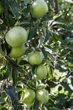 Pommes vertes sur un arbre avec un groupe photographie stock libre de droits