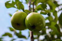 Pommes vertes sur un arbre dans le jardin après pluie Images stock