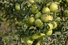 Pommes vertes sur un branchement Images stock