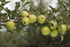 Pommes vertes sur un branchement Photo libre de droits