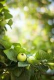 Pommes vertes sur un branchement Image libre de droits