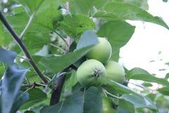 Pommes vertes sur une branche Photos stock
