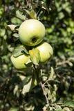 Pommes vertes sur une branche photographie stock libre de droits