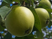Pommes vertes sur une branche Photo libre de droits