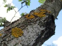 Pommier avec de la mousse Image stock