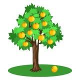 Pommier avec des feuilles de vert et des fruits jaunes Photos stock
