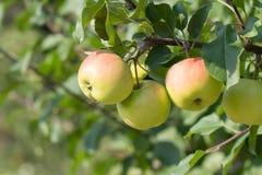 Pommier Avec des pommes Images stock