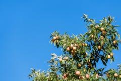 Pommier avec les pommes mûres sur le fond de ciel bleu Photos stock