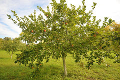 Pommier Avec les pommes rouges Image libre de droits