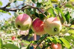 Pommier Avec les pommes rouges Le pommier dans le jardin Fruits de jardin d'été Pommes vertes sur l'arbre Moisson des pommes Roug Photographie stock libre de droits