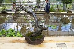 Pommier - bonsaï dans le style de Photos stock