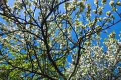Pommier de branche de fleurs Image libre de droits