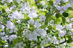 Pommier de fleur Photographie stock libre de droits