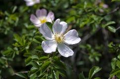 Pommier de fleur au-dessus de fond de nature Image libre de droits