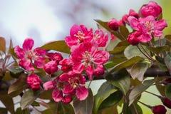 Pommier de floraison Images libres de droits