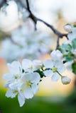 Pommier de floraison Photo stock