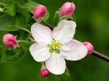 Pommier de floraison photographie stock libre de droits