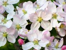 Pommier de floraison Photos libres de droits