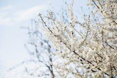 Pommier de floraison Photo libre de droits