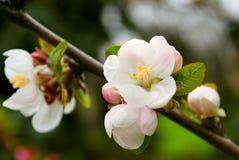 Pommier de floraison Images stock