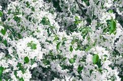 Pommier de floraison Image libre de droits