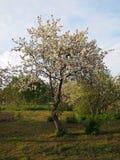 Pommier de floraison Photos stock