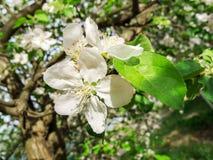 Pommier de floraison au printemps Photographie stock