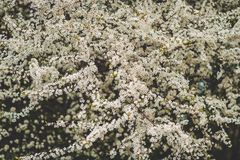 Pommier de floraison avec les fleurs blanches photos stock