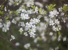 Pommier de floraison avec les fleurs blanches minuscules image libre de droits