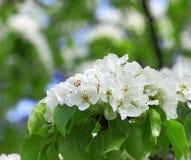 Pommier de floraison ; belles fleurs blanches Image stock