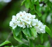 Pommier de floraison ; belles fleurs blanches Photographie stock